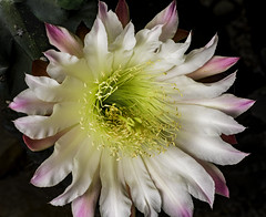 Night Blooming Cactus Flower With Pink Color (Bill Gracey) Tags: pink cactus flower color detail fleur garden flor clarity lakeside sharp softbox macrolens macrophotography directionallight offcameraflash nightbloomingcactusflower nobumping cereusrepandus droughttolerantlandscaping removedfromstrobistpool lastoliteezbox yongnuorf603n yn560iii