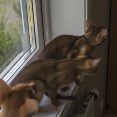 Fly Catchers 3 (peter_hasselbom) Tags: cats game window cat 50mm kitten play naturallight kittens usual motionblur abyssinian windowsill ruddy 3cats 19weeksold 3kittens huntingflies
