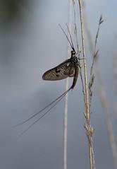 Mayfly (gillian.pullinger) Tags: macro nature closeup wildlife surrey mayfly crooksburycommon