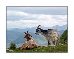 Beurk ... tu pues ! (eric_47) Tags: sky france animal montagne hiking ciel moutain pyrnes paysbasque chvre randonne aquitaine pyrnesatlantiques