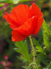 Wiosna Frhling Spring (arjuna_zbycho) Tags: flower fleur fleurs spring flora maki natur blume popy mak frhling wiosna mohn kwiat cornpoppy badenbeiwien klatschmohn mohnblume redpoppy coquelicots papaverrhoeas redweed mohnblumen heilpflanze fieldpoppy cornrose popies pavots klatschrose rosolaccio flanderspoppy hausmittel czerwonemaki popyflower makpolny gatunekleczniczy kwiatypolne papaverocomune kznsgespipacs vetsipipacs