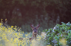 amongst the rape and peas (timcooper6) Tags: roedeer suffolk countryside