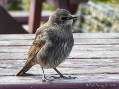 Baby Starling (Belinda Fewings (3 million views. Thank You)) Tags: street city baby colour bird nature beautiful beauty out table outside outdoors seaside arty artistic bokeh wildlife creative may fluffy starling best depthoffield dorset colourful lovely bournemouth springtime rspb hengistburyhead beautify bbcspringwatch nationalgeographicwildlife panasoniclumixdmc pbwa creativeartphotograhy belindafewings