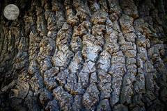 alter Baum (Raven Moon Pix) Tags: outdoor natur elements baum