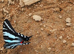wings, scales, spots (Just Back) Tags: blue red food black color sc butterfly insect sand colorful adult legs bright feeding science carolina alive geology biology cells clod lockhart aware molecular broadriver