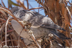 Eared Dove (Jim Scarff) Tags: eareddove