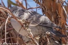 Eared Dove (Jim Scarff) Tags: eareddove
