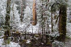 Paul Brandon Overland 2016 (17 of 140) (Paul Brandon  Rambling House Photography) Tags: mountain snow mountains walking nikon rainforest hiking australia tasmania cradle iphone