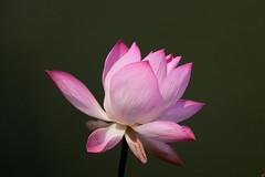 lotus d'orient ( Nelumbo nucifera ) Bueng Chawak 1605082 (pap alain) Tags: fleurs thalande nelumbonucifera lotusdorient lotussacr buengchawak