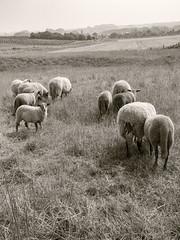 Indifference: 10/11 (enneafive) Tags: morning fog landscape haze sheep belgium belgique belgie flock olympus omd indifference borgloon em5