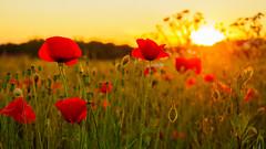 Poppy sunset (Karsten Gieselmann) Tags: light red summer orange brown flower color rot de bayern deutschland licht sonnenuntergang dof seasons blossom sommer jahreszeiten lawn meadow blumen olympus braun farbe gegenlicht blten schrfentiefe mohn m43 mft burglengenfeld microfourthirds mzuiko feldweidewiese 1240mmf28 em5markii kgiesel
