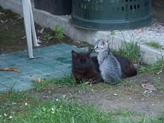 04062016N10 (starezubre) Tags: gatti giardino 2016 gattini mamme giocchi