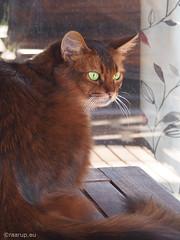 Watchful Caithlin (Finn Frode (DK)) Tags: pet cats animal cat garden table denmark outdoor watch olympus som somali verandah somalicat caithlin omdem5 dusharacathalcaithlin