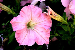 Pink Petunia_PB_5593 (Rikx) Tags: pink plant flower green horizontal photoshop garden outdoor nopeople watercolour adelaide petunia southaustralia 3f alteredimage flickrsfantasticflowers pixelbender