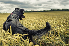 Ida in the wheat field #2 (Schneggart) Tags: summer dog field clouds jumping wheat weizenfeld bouning