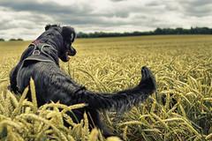 Ida in the wheat field #2 (Schneggart) Tags: summer dog field clouds jumping wheat weizenfeld bouning