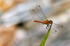 Ready for take off [explored 08.07.2016] (Wenninger Johannes) Tags: dragonfly libelle insekt insect insekten insects libellen macro makro makrofoto makrofotografie macrophoto macrophotography natur nature naturfoto naturephotography naturfotografie naturephoto linz austria sterreich