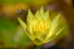 Yellow Water Lily (bmasdeu) Tags: bee flower waterlily lily garden watergarden yellow florida tropical