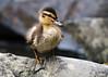 Not such an ugly duckling (Shane Jones) Tags: bird duck nikon wildlife duckling chick mallard d500 mallardduck tc14eii 200400vr