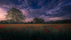 Field of Poppies (HatCat Photography) Tags: poppies field flowers tree sun clouds weinheim fuji fujifilm germany spring nature landscape