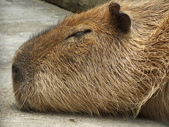 capybara~Ueno zoo (halarai21) Tags: animal zoo rodent profile snooze