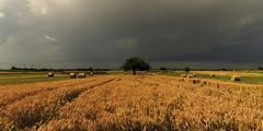 A light ray on wheat field (Enrico Cusinatti) Tags: travel sky italy cloud nature clouds canon eos golden exposure italia nuvole nuvola natura cielo campo minimalismo albero viaggi vacanze grano esposizione 6d orizzonte wheatfield nubi vegetazione campodigrano canoneos6d oradorata enricocusinatti