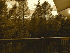Conifers at Dusk (Rock Water) Tags: pines sepiatone conifers firs tamaracks