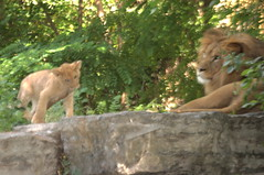 Toby and Dad # 2 (Jay Costello) Tags: africa toby cat cub feline lion hunter simba predator lioncub babylion animalbabby