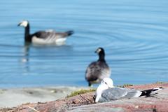 I see you ... (evisdotter) Tags: nature birds bokeh gull fglar ms sooc vitkindadegss