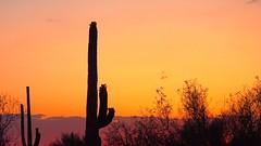 Saguaro National Park in Tucson, Arizona (goodhike) Tags: park sunset arizona cactus sun plant nature set cacti giant landscape desert tucson outdoor az national saguaro sonoran saguaronationalpark sonorandesert giantcacti giantcactus