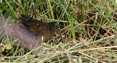 The Elusive Virginia Rail for Vickie (jeanmarie shelton) Tags: bird nature nikon wetlands virginiarail jeanmarie cottagelake jeanmarieshelton