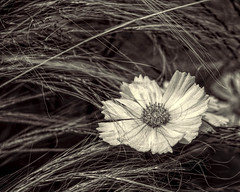 Bloom Where You're Planted (Explore No. 8) (A Anderson Photography, over 1 million views) Tags: flower sepia canon one mono single windblown