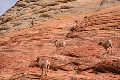 Bighorn Sheep in Zion National Park (Journey CPL) Tags: park nature animal utah sheep outdoor national zion bighorn