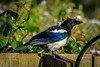 Magpie (Myrialejean) Tags: blue wild white black green bird eye feet nature fauna fence garden outdoors wings colours wildlife flight beak feathers azure sigma aves pica crow magpie corvid brambles claws beady corvidae d7200