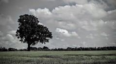 Uneven Tree (hall1705) Tags: tree nature field clouds mono countryside nikon coolpix p340