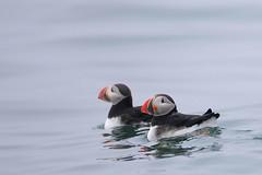 Atlantic Puffin (Greg Lavaty Photography) Tags: bird nature water june swimming wildlife maine atlantic puffin seabird fraterculaarctica