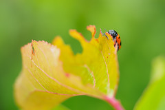 Mahlzeit! (Karsten Gieselmann) Tags: orange black color green yellow olympus gelb grn farbe schwarz insekten kfer m43 mft 60mmf28 microfourthirds mzuiko em5markii kgiesel