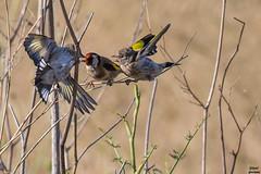 AG7O0085-1.jpg (jlgad05) Tags: bird oiseau cardueliscarduelis europeangoldfinch chardonneretlgant fringillids passriformes