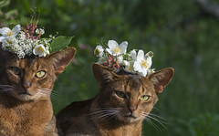 Bonk & Lennon celebrating Midsummer Nights Eve (peter_hasselbom) Tags: flowers summer cats sun male cat outdoors usual wreath fatherandson abyssinian 105mm ruddy twocats 2cats