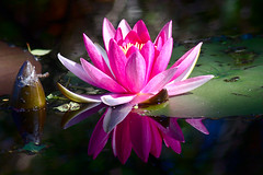 Nymphaea alba f. rosea (azeam) Tags: water lily red hovmantorp