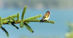 Chardonneret lgant (Lio-C) Tags: canon animaux oiseau sauvage baratier hautesalpes serreponon lgant chardonneret eos7d canon7d