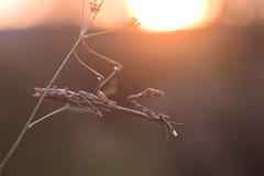 (Leela Channer) Tags: sunset summer france macro nature closeup female mantis insect golden glow bokeh fennel goldenhour garrigue empusapennata empuse
