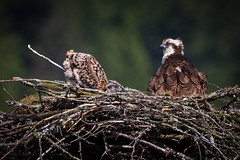 Potty Training (iPhilFlash) Tags: birdsofprey pittmeadows nature birds outdoor animal pandionhaliaetus vancouver wildlife osprey britishcolumbia bird chick nest animals wildbirds raptor outdoors canada