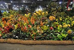 2016-03-11_0283n_waldor (lblanchard) Tags: orchid waldor displaygarden 2016flowershow