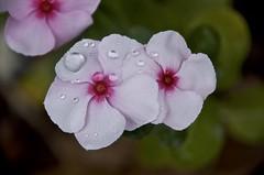 sky drops (Pejasar) Tags: water drops droplets rain fresh bright sparkle bloom tulsa oklahoma