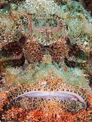 Scorpionfish(2) (altsaint) Tags: fish underwater redsea egypt panasonic 45mm hurghada scorpionfish gf1