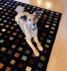 Hannah is my sweetie. (Just Back) Tags: family dog love face america mouth square fur carpet mutt toes floor angle geometry tail ears visit whiskers hillary math rug sweetheart amerika mischling liebling lovemonkey maedchen dogfur rugfur