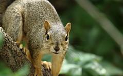 Squirrel, Morton Arboretum. 353 (EOS) (Mega-Magpie) Tags: usa tree cute green nature america canon eos illinois squirrel branch wildlife dupage arboretum il morton lisle the 60d