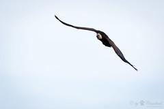 Griffin vulture (Cloudtail the Snow Leopard) Tags: bird animal zoo fly vulture tier vogel griffon fliegen geier flug gyps fulvus amneville gnsegeier