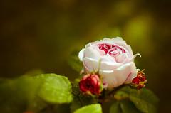In un momento sono fiorite le rose - Explore May 8, 2013 (Isabella Pirastu) Tags: flowers flower primavera rose natura springs fiore